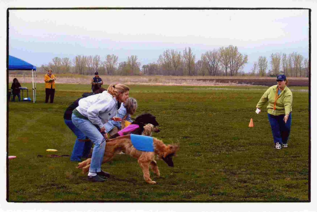 Greater Twin Cities Afghan Hound Club - Lure Coursing Photos Afghan Hound Lure Coursing